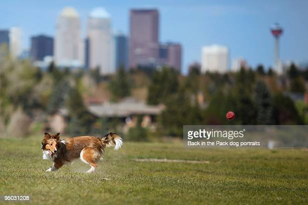 Sheltie chasing a ball in front of city skyline