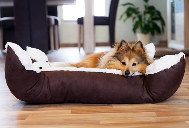 Sheltie Hund im Körbchen