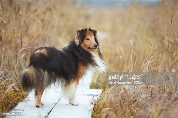 sheltie (canis lupus familiaris) on wooden path, vaala, finland - collie stock pictures, royalty-free photos & images