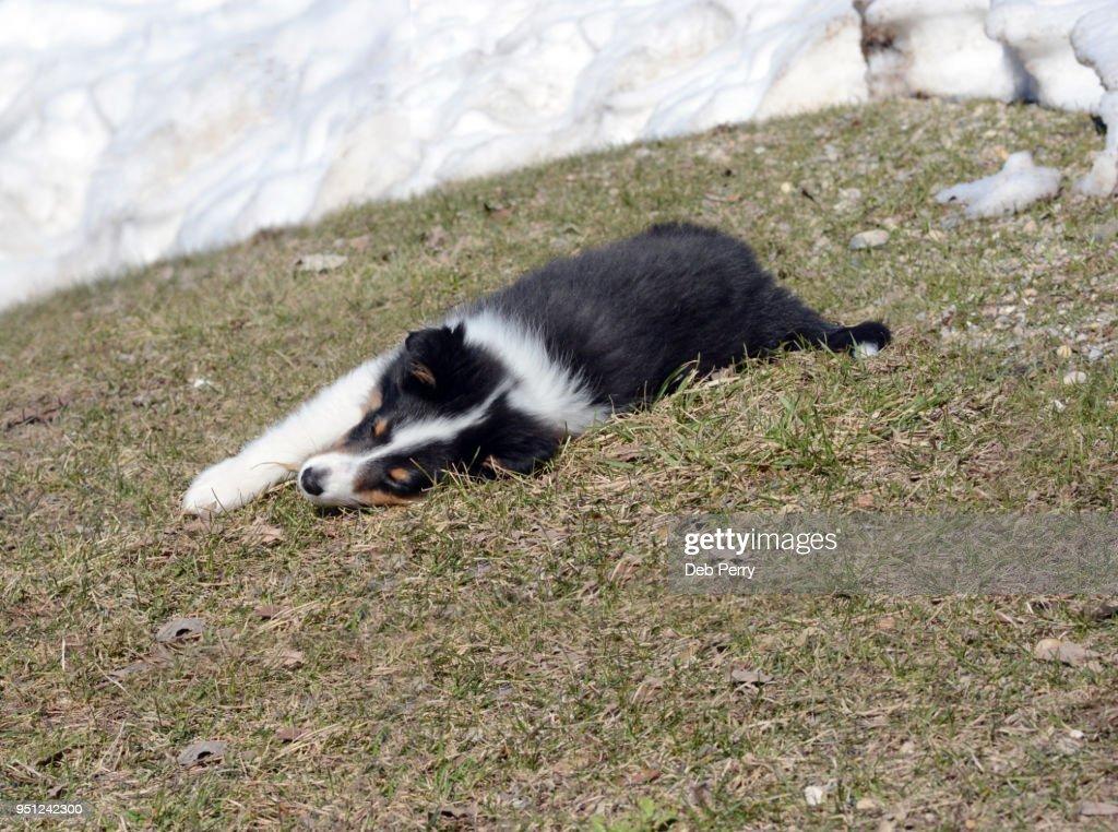 sheltie puppy ストックフォト getty images