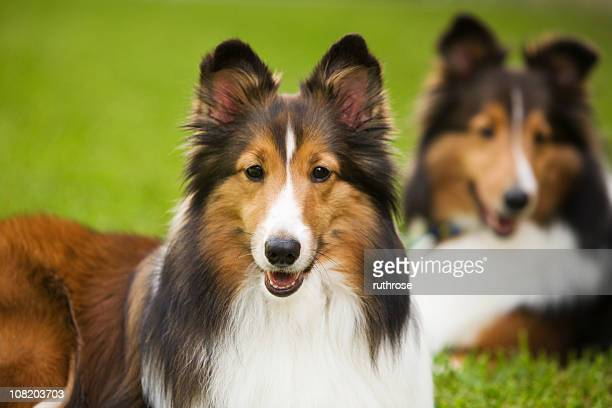 shelties in the grass - collie stock photos and pictures