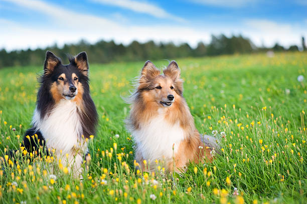 Shelties in the meadow