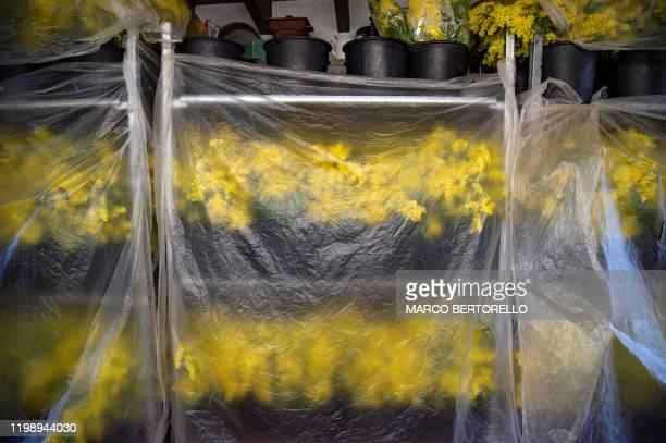 Shelves with Mimosa bouquets are seen through a plastic sheet in Seborga northwestern Italy on February 5 2020 Workers in northwestern Italy are...