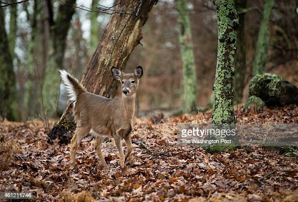 Shenandoah National Park is pictured in late December when all the leaves have fallen from the trees A deer is pictured in Big Meadows area around...