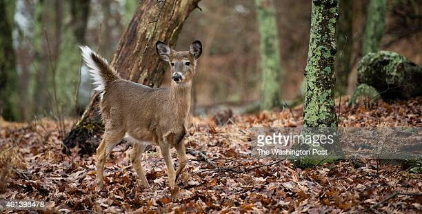 Shenandoah National Park is pictured in late December when all the leaves have fallen from the trees. A deer is pictured in Big Meadows area around...