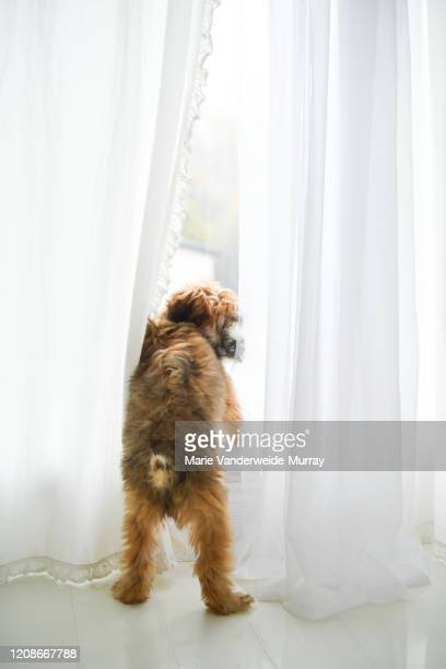 shep at the window - hairy bum stock pictures, royalty-free photos & images