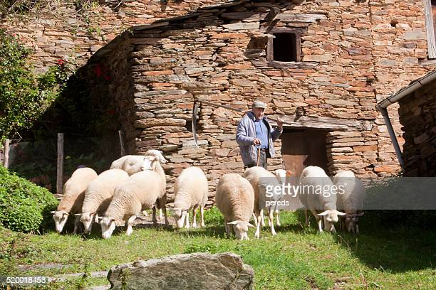 shepard and sheep. - shepherd stock pictures, royalty-free photos & images