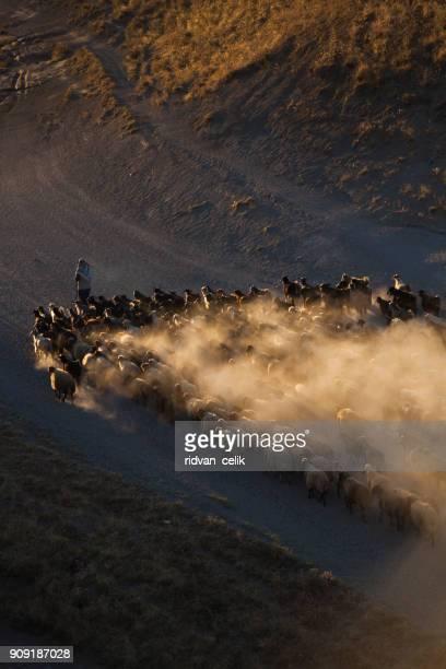 羊飼い - 羊の群 ストックフォトと画像