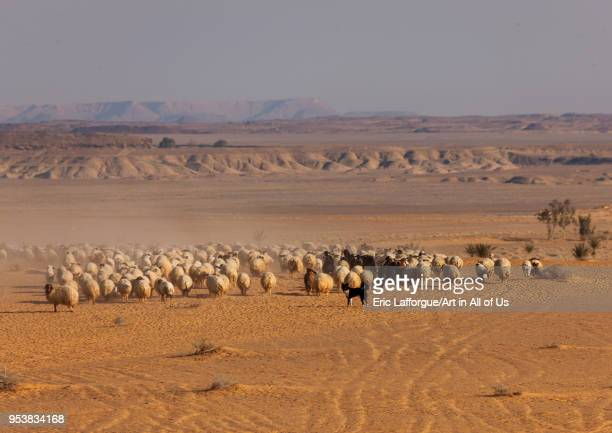 Sheperd drive flock of sheep Al Madinah Province AlUla Saudi Arabia on January 23 2010 in Alula Saudi Arabia