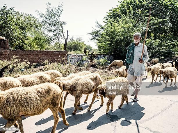 Shephard and sheeps India