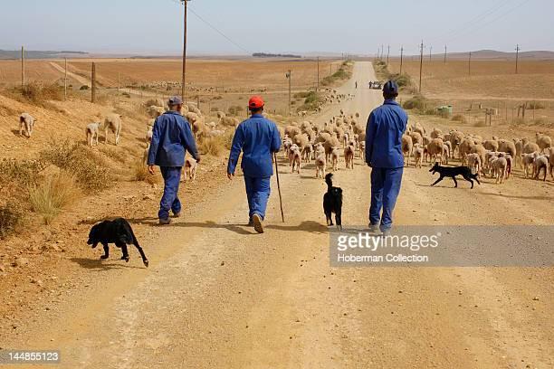 Shephards and sheep herd