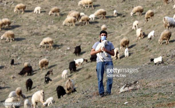 Shepherd Adem Yldz wearing a protective mask against the novel coronavirus COVID19 carries a lamb as others graze in the fields around the village of...