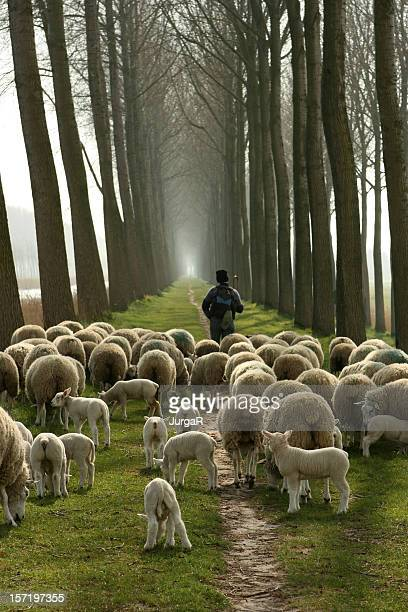 Shepherd and a flock of sheep following him