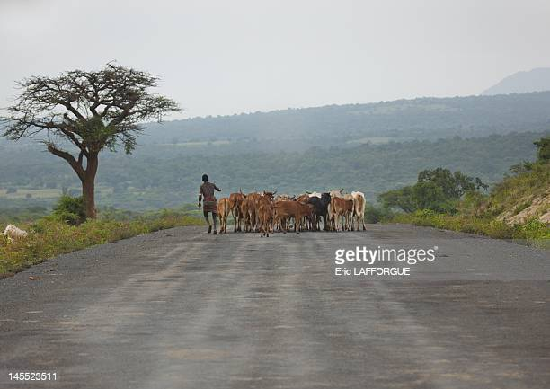 Shepherd and cattle on coated road on June 24 2011 in Omo Valley Ethiopia