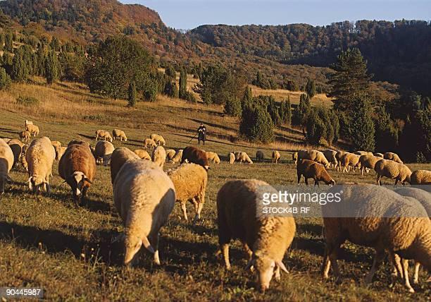 shepherd and flock of sheep on the swabian alb, baden-wurttemberg, germany - eden pastora fotografías e imágenes de stock