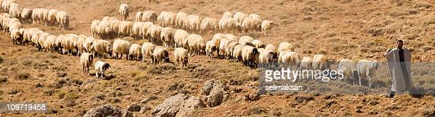 shepherd and flock of sheeps in panoramic composition - shepherd stock pictures, royalty-free photos & images