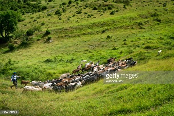 pastor y su rebaño de cabras en abruzzi, italia - pastora vega fotografías e imágenes de stock