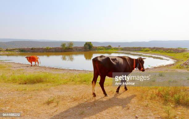 shepherd and herd - amir mukhtar stock photos and pictures
