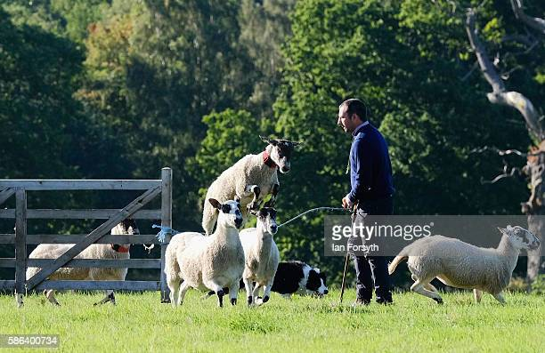 Shepherd and his dog run sheep into the pen at the British National Sheep Dog Trials on August 6, 2016 in York, England. Some 150 of the best...
