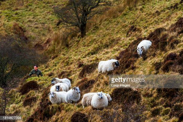 Shepherd and his sheep in the hills on the Isle of Skye.
