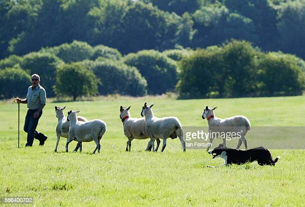 Shepherd and his sheepdog drive sheep towards a pen during the British National Sheep Dog Trials on August 6, 2016 in York, England. Some 150 of the...