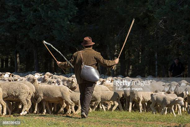 Shepherd And Sheeps St Remy De Provence France