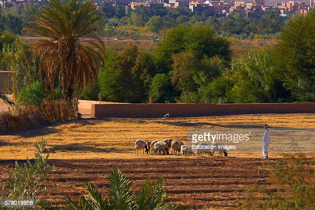 Shepherd at Taourirt Kasbah, Ouarzazate, UNESCO World Heritage Site, Ouarzazate Province, Morocco, North Africa,.