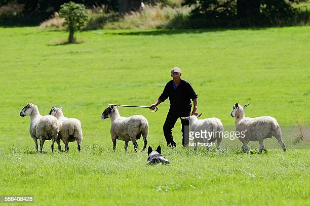 Shepherd Bob Harland from Pickering takes part in the Brace Run at the British National Sheep Dog Trials on August 6, 2016 in York, England. Some 150...