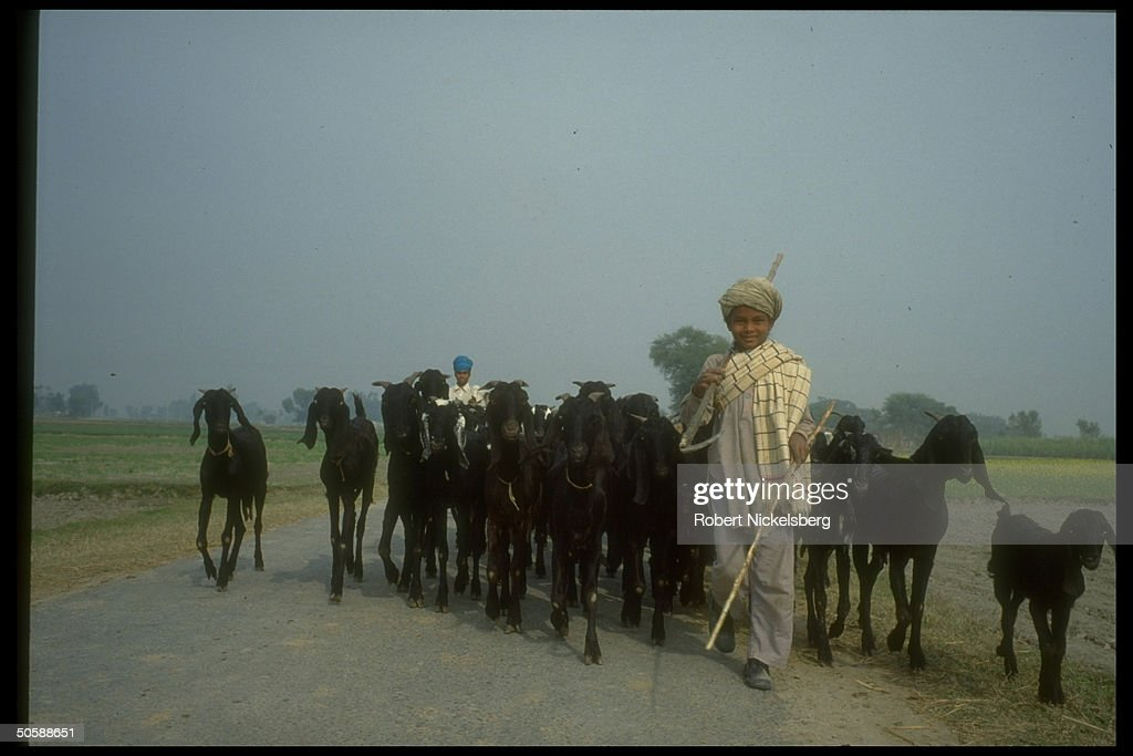 Shepherd boys herding their flock of goats along paved road prob in Bhikhiwind Punjab