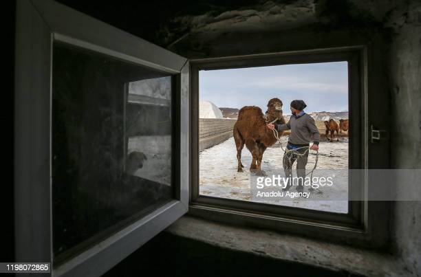 Shepherd brothers Mustafa Erbay and Baran Erbay train their camels on snowy grounds enabling them to become champions in competitions held in the...