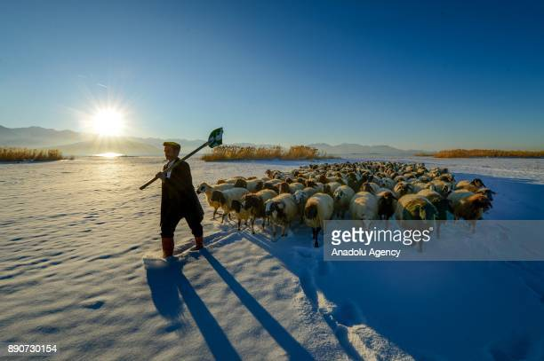 A shepherd carries a shovel as he leads his sheep flock on snow covered ground in cold weather during sunrise in Edremit district of Van Turkey on...
