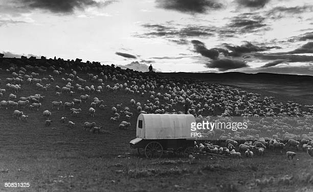 A shepherd collects his flock together at twilight in Livingston Montana circa 1939
