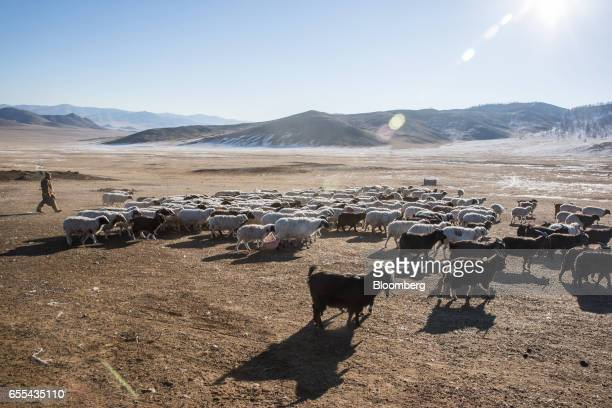 A shepherd drives sheep and goats grazing in Tosontsengel Zavkhan Province Mongolia on Saturday March 11 2017 Mongolia's gross domestic product is...