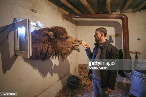 A shepherd feeds a camel after training to improve their strength and endurance for wrestle and race events in Baskale district of Van Turkey on...