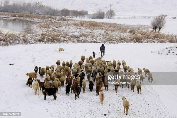 A shepherd grazes his sheep after a snowfall in Hafik district of Turkey's Sivas province on November 17 2018