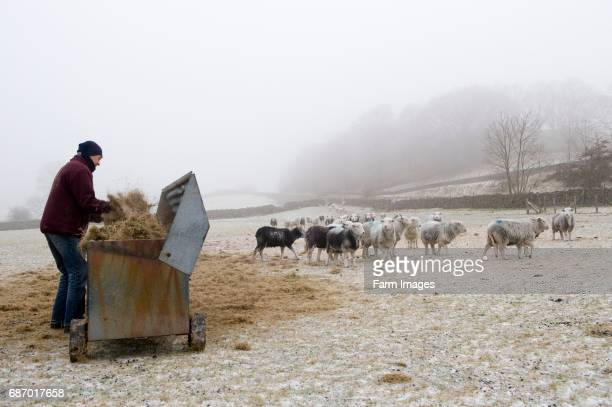 Shepherd hay into hay rack for Herdwick sheep to eat from Keswick English Lake District