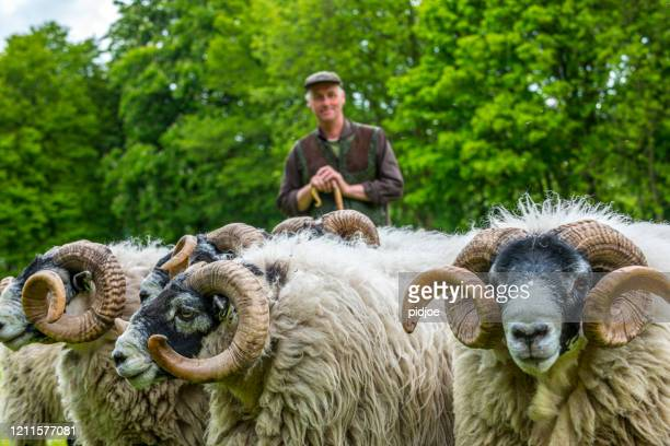 shepherd herding his flock of sheep, focus on flock - sheep stock pictures, royalty-free photos & images
