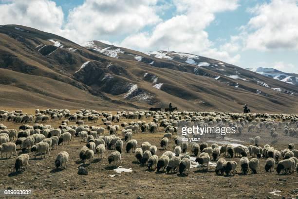 shepherd herding sheep on the bayanbulak grassland,china - pastor de ovelha - fotografias e filmes do acervo