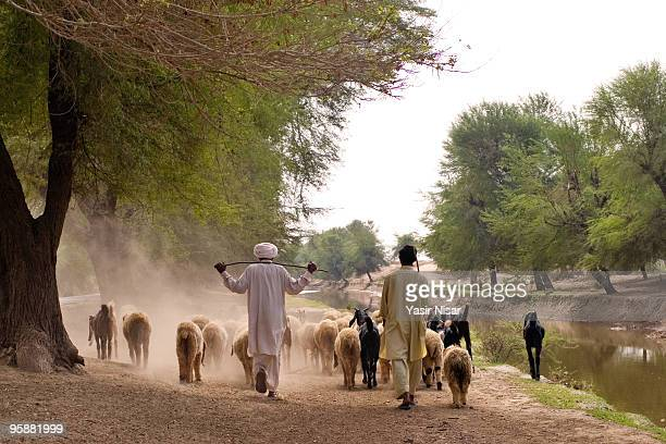 shepherd in cholistan - punjab pakistan stock photos and pictures