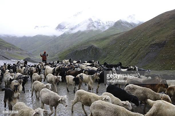 shepherd in jammu and kashmir state - pastora vega fotografías e imágenes de stock