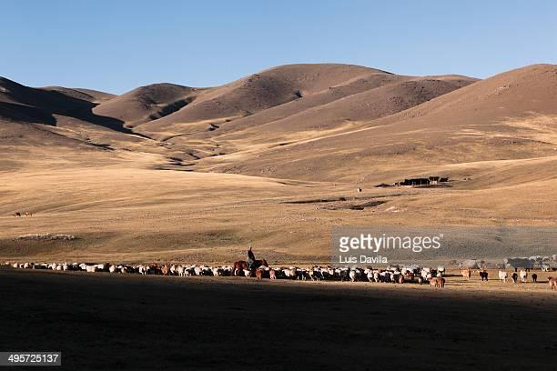 shepherd in orkhon valley