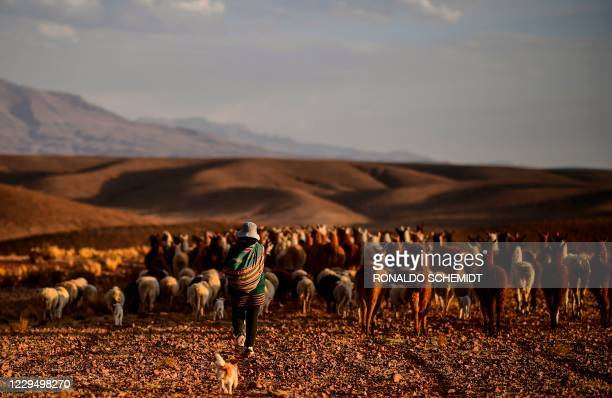 Shepherd is seen with her herd of llamas in Tolapampa, department of Potosi, Bolivia, on November 6, 2020.