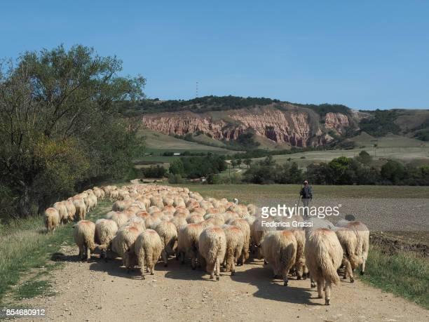 Shepherd Leading A Flock Of Sheep In Transylvania, Romania