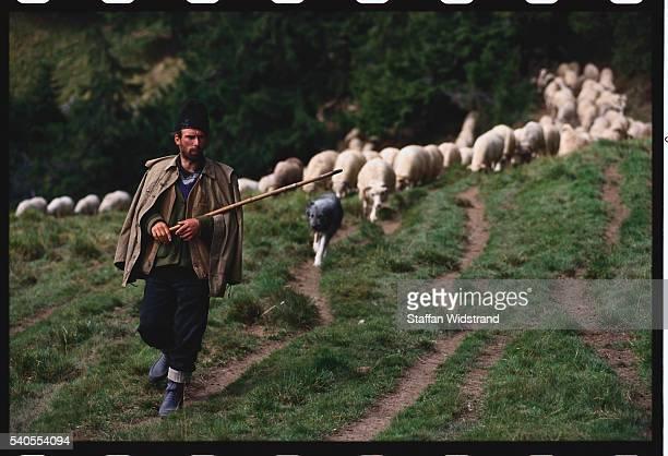 Shepherd Leading Flock in Carpathian Mountains