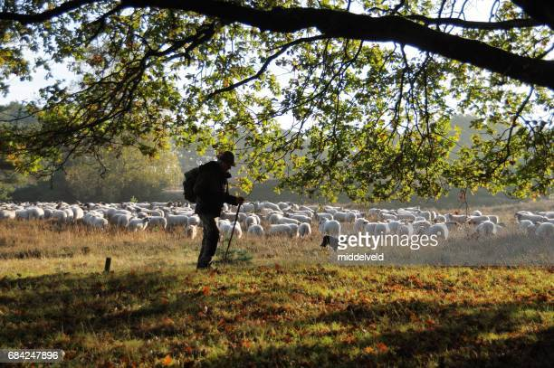 Shepherd leading his herd