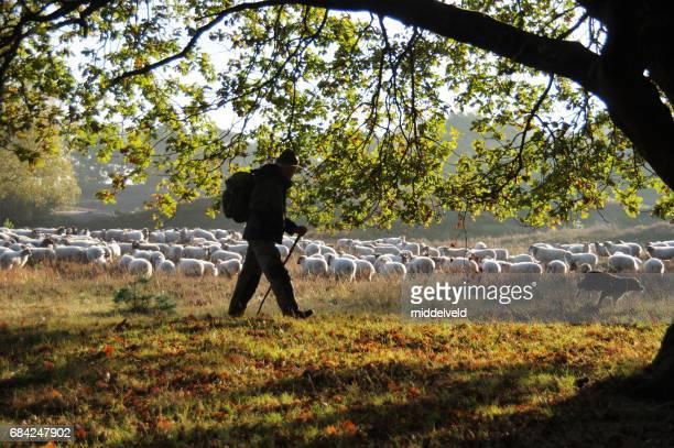 Shepherd leading his herd