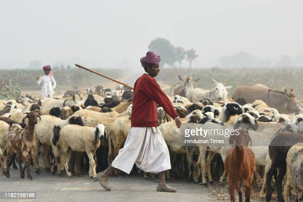 A shepherd leads a herd of cattle amid smog at Mohangarh village on November 13 2019 in Jind India