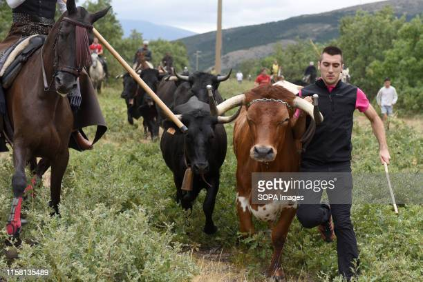A shepherd leads a herd of cows and oxes during the festival The village of Noviercas Soria province north of Spain celebrates the Livestock...