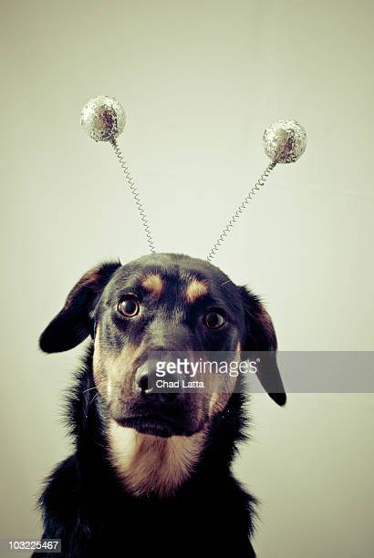 shepherd mix with funny hat - antenne stock-fotos und bilder