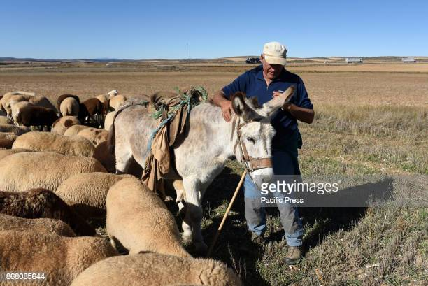 A shepherd pictured with his donkey 'Felipe' and his flock of sheep in the small village of Sauquillo de Boñices north of Spain